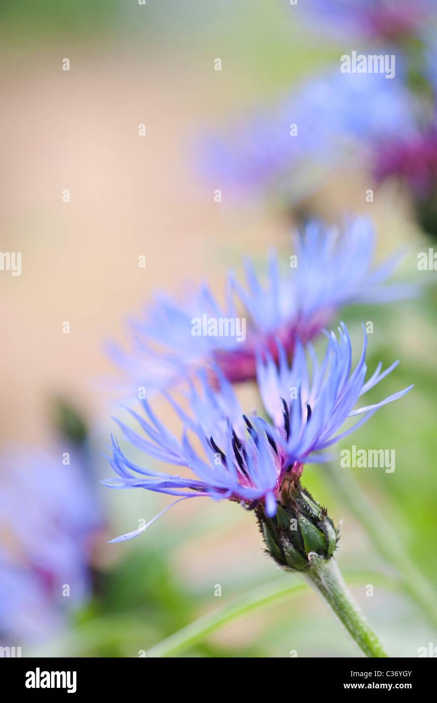 Centaurea montana. Bleuet vivace, la montagne, la centaurée bluet, centaurée de montagne Photo Stock