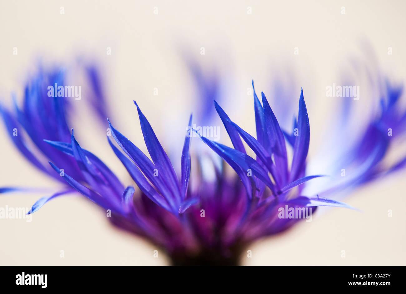 Centaurea montana. Bleuet vivace, la montagne, la centaurée bluet, centaurée de montagne sur fond clair. Photo Stock