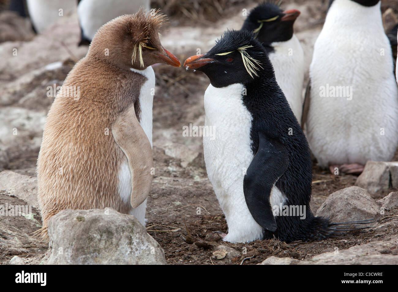 Leucistic Rockhopper Penguin (Eudyptes chrysocome chrysocome) debout à côté d'une personne en Photo Stock