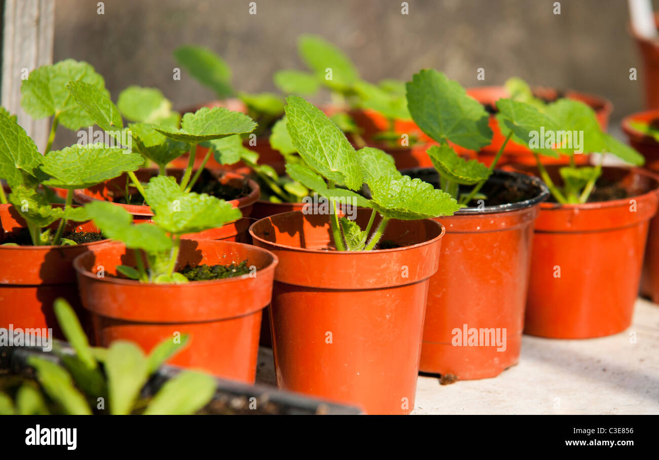 Les Semis En Pot Rose Tremiere Banque D Images Photo Stock