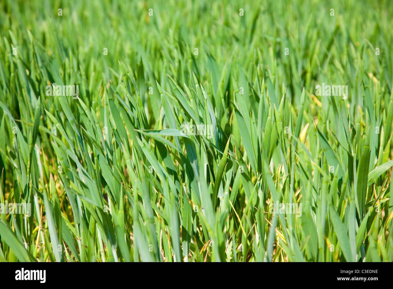 Les jeunes pousses vertes de plantes céréalières dans un champ, Kent, UK Photo Stock