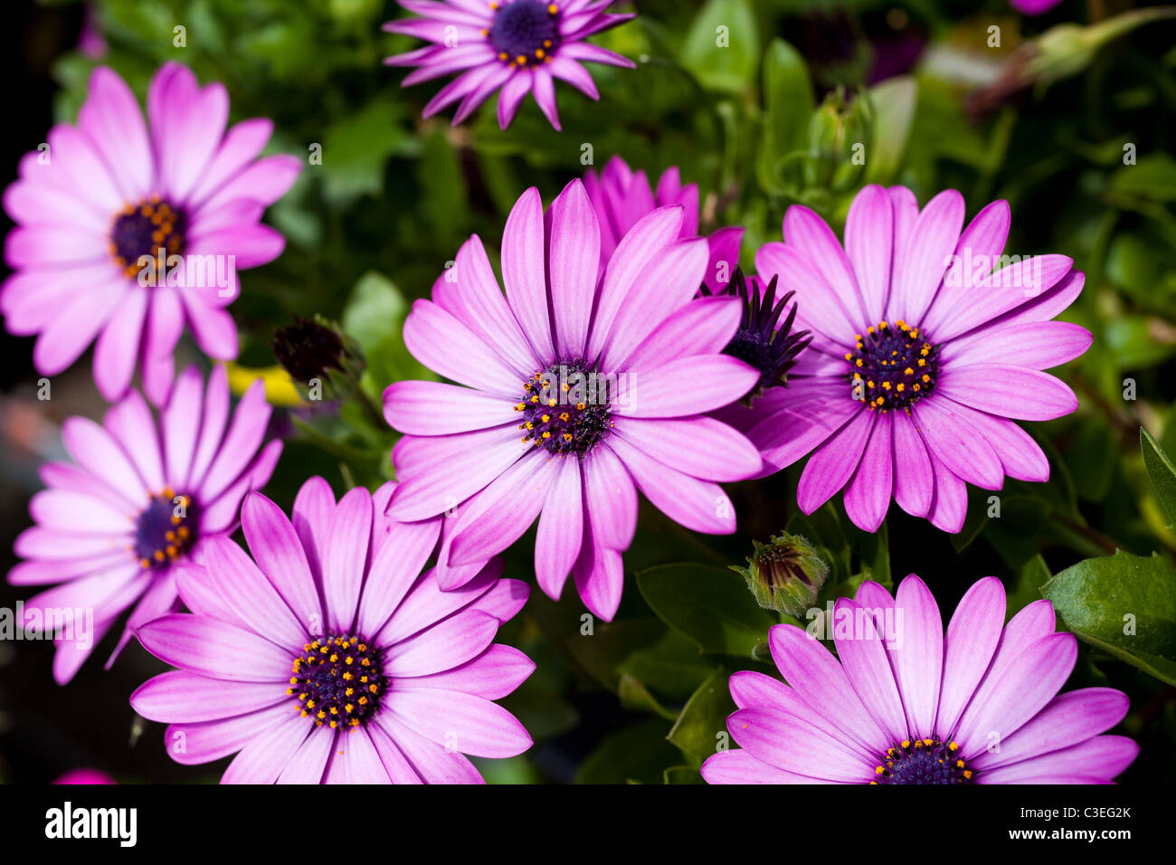 Purple Daisy close up shot Photo Stock