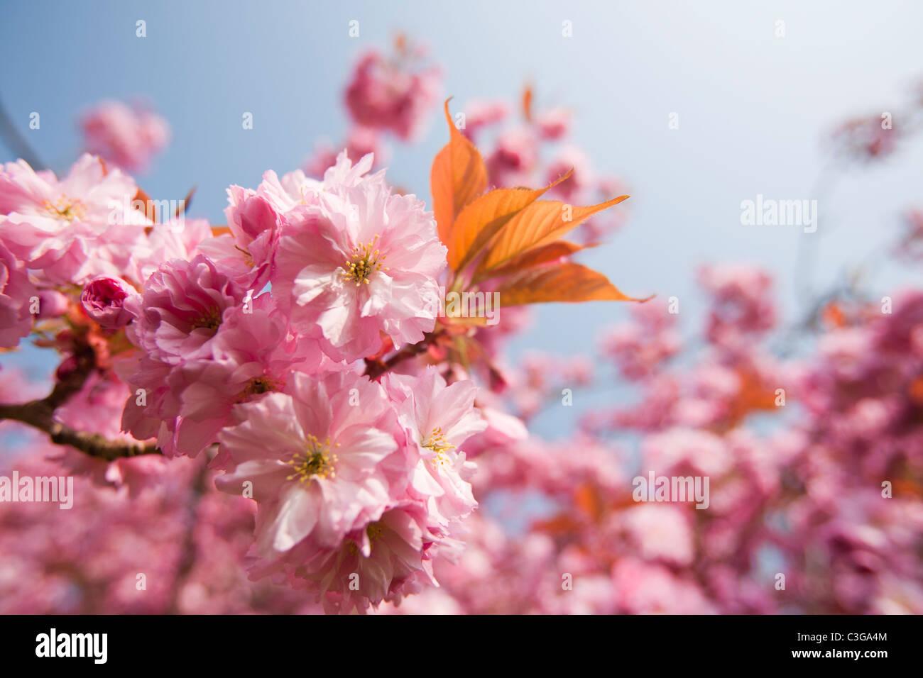 Fleur de cerisier sur un cerisier d'ornement au printemps, Ambleside, Cumbria, Royaume-Uni. Photo Stock