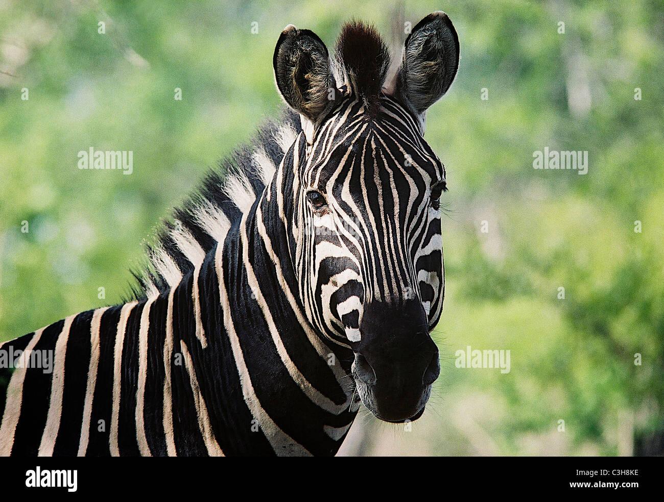 Zebra le zèbre de Burchell (Equus burchellii) Mala mala Afrique du Sud Banque D'Images