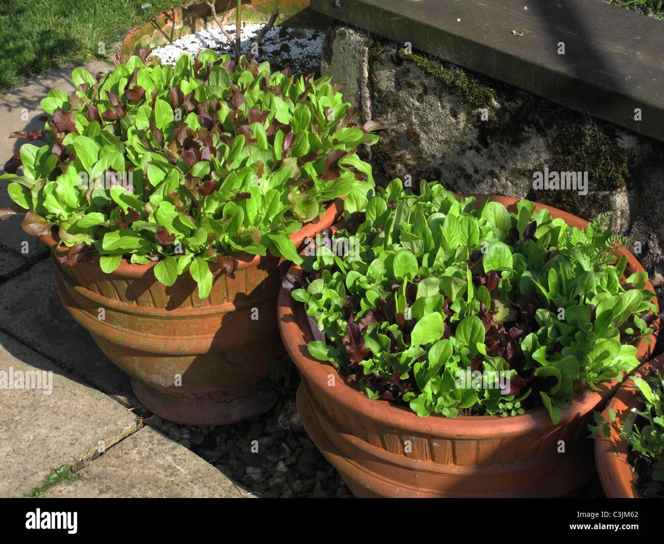 Sélectionner et revenir les légumes feuilles de salade de laitue poussant dans des pots en terre cuite Photo Stock
