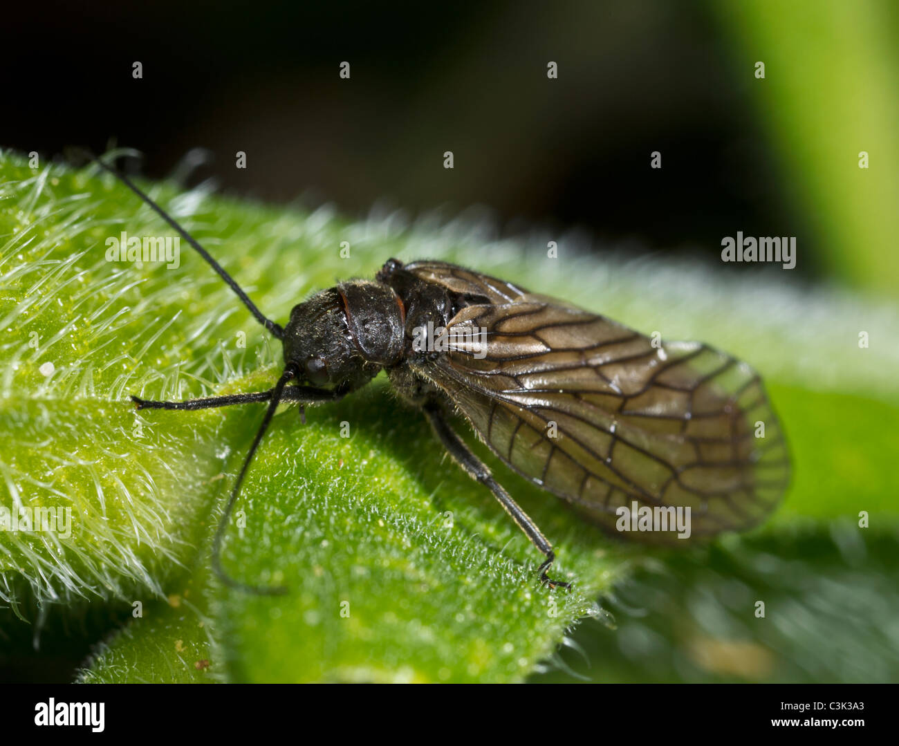 Alder fly (Sialis lutaria), adulte Photo Stock