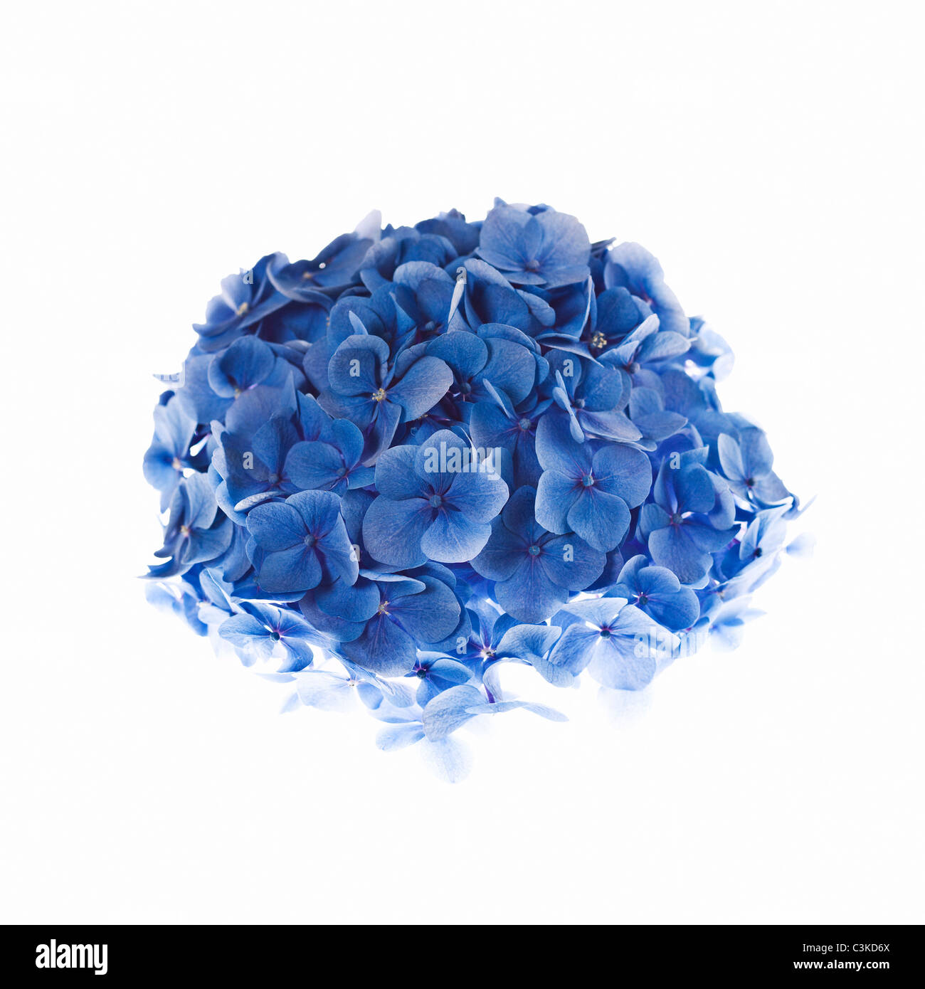 L'Hydrangea against white background Photo Stock