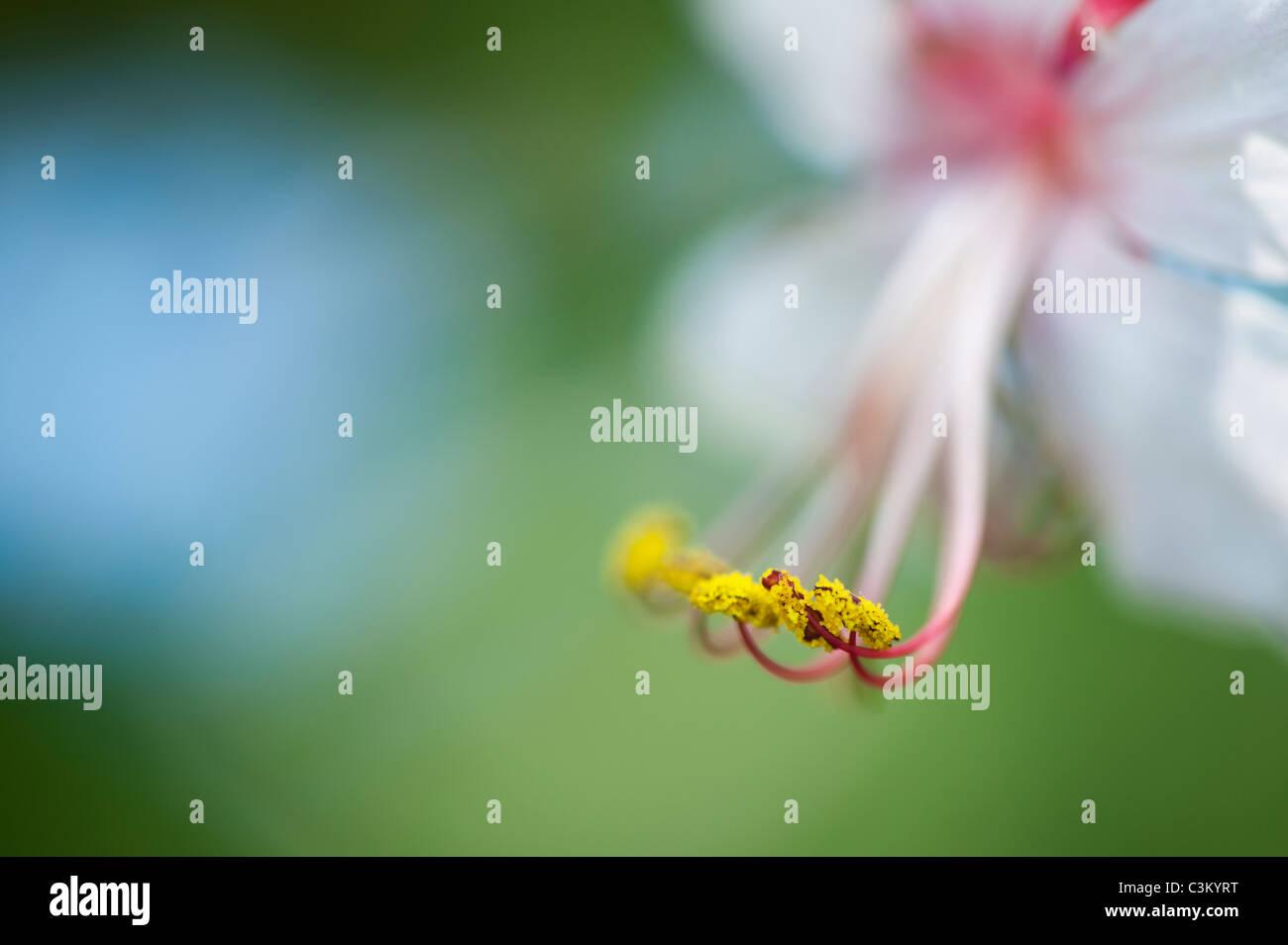Geranium macrorrhizum 'Album' fleur. Géranium sanguin Rock. Close up sur les anthères et le pollen Photo Stock