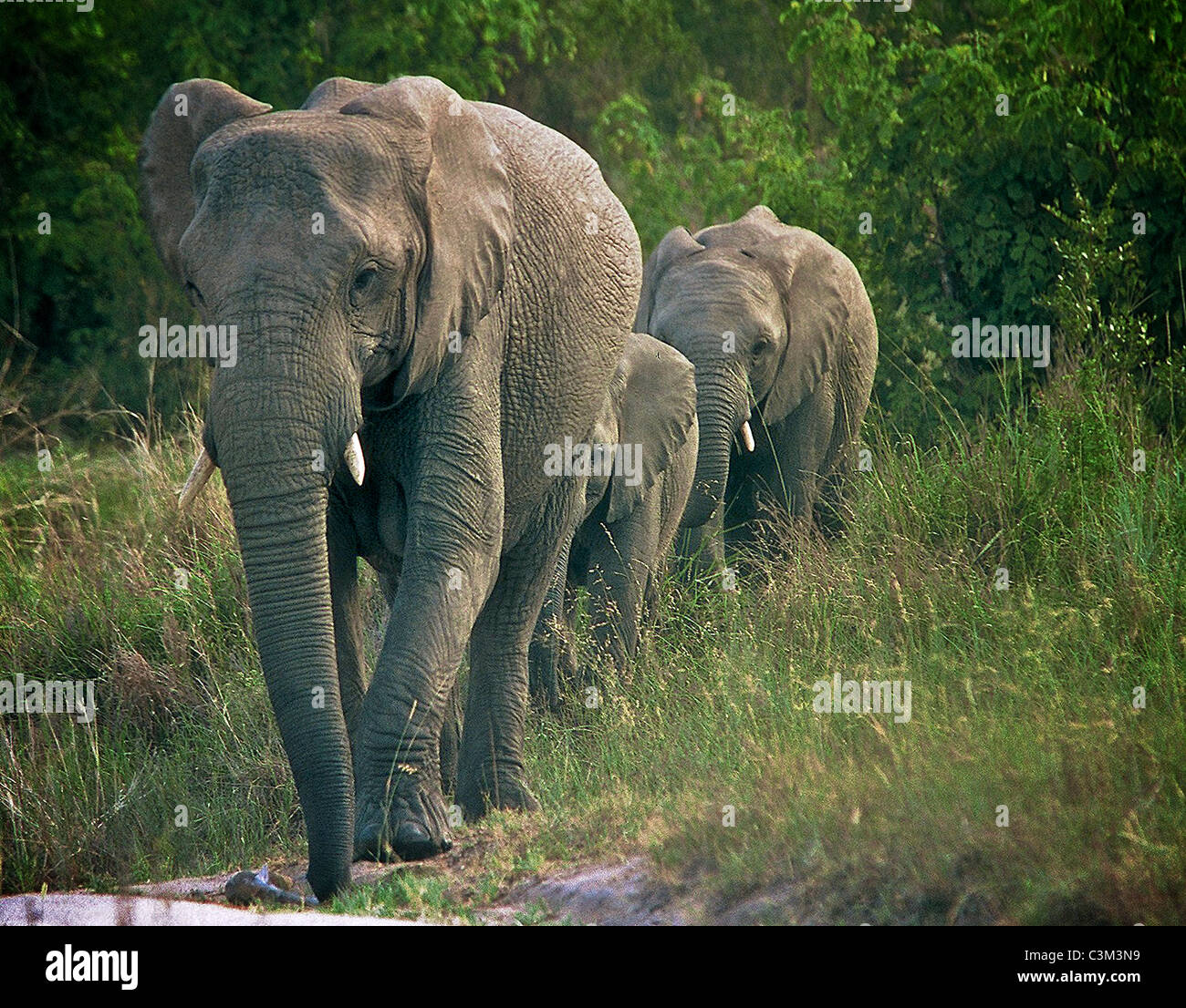 Famille d'éléphants Loxodonta africana , Afrique du Sud Kruger Mala Mala Photo Stock