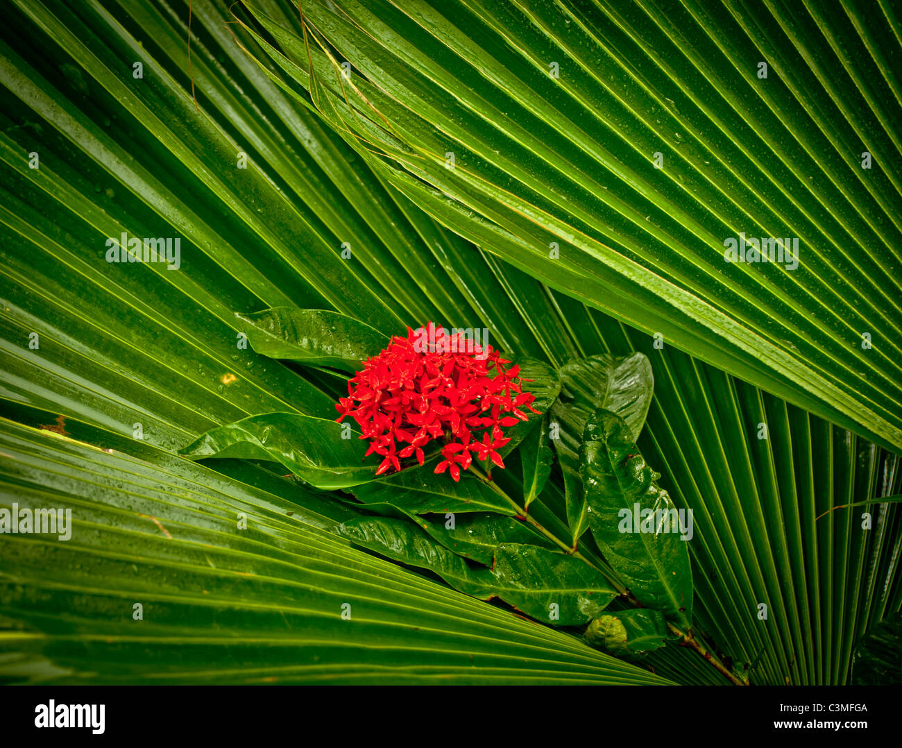 Fleur rouge tropicaux ornementaux Plant named ( Kajdo ) entouré de palmiers. Îles Fidji Photo Stock