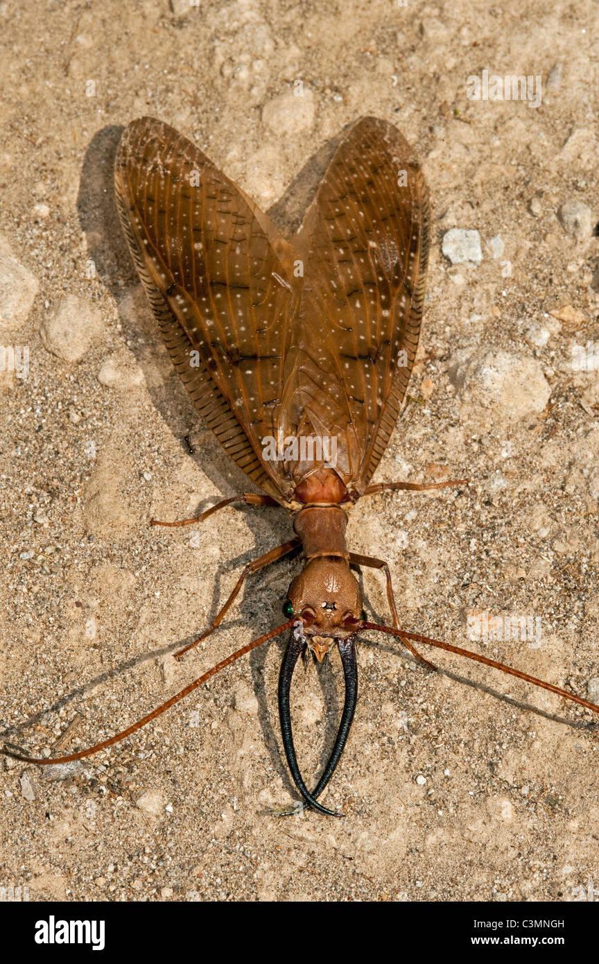 Dobsonfly ou King Bug (Corydalus sp.), imago avec mandibules bien développées. Mindo Cloud Forest, versant Photo Stock