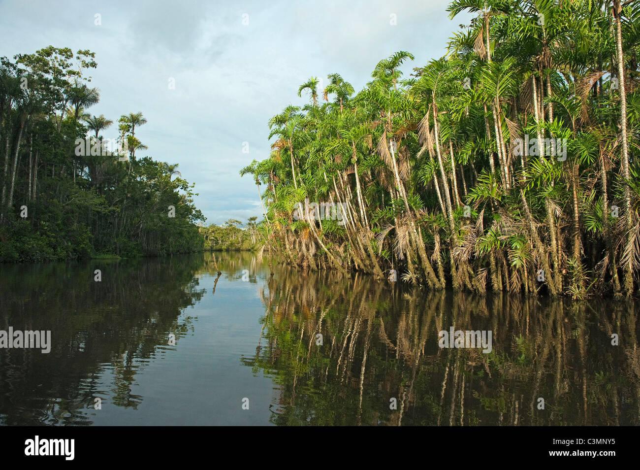 Forêt inondée Igapo. Cocaya River. La forêt tropicale amazonienne. Frontière de l'Équateur Photo Stock