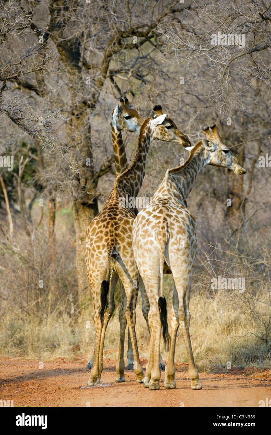 L'Afrique du Sud, près de Zeerust, Pilanesberg National Park. Les girafes, Giraffa camelopardalis. Photo Stock