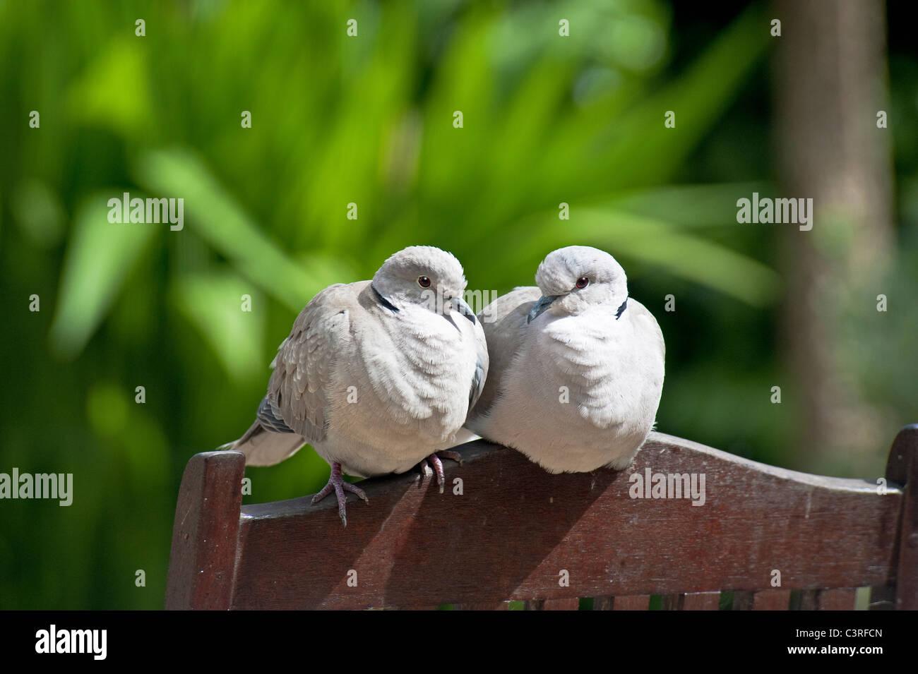 Deux oiseaux - une paire de Tourterelles turques en appui sur le dos de chaises de jardin Photo Stock