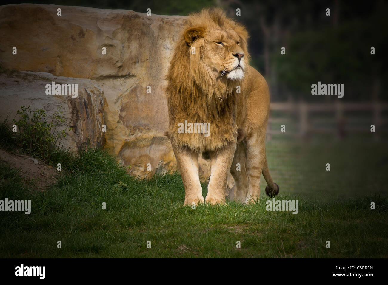 Quel magnifique bête est ce puissant lion mâle Banque D'Images