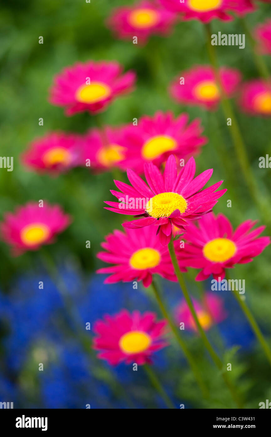 Tanacetum coccineum. Fleurs Daisy peint Photo Stock
