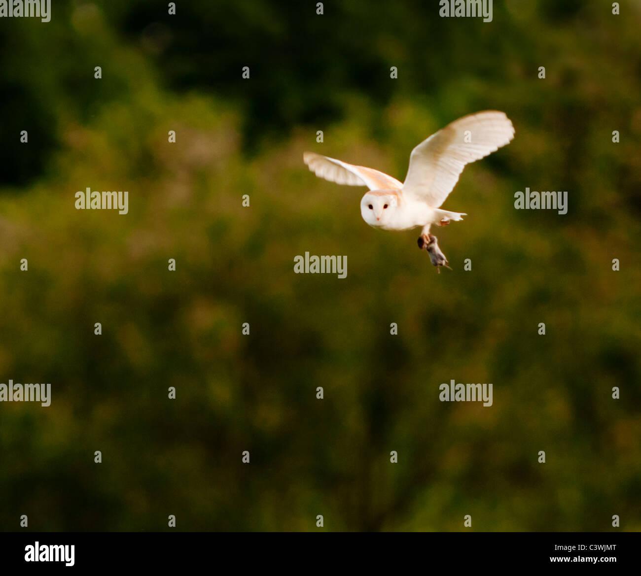 Effraie des clochers (Tyto alba), campagnols avec Warwickshire Photo Stock