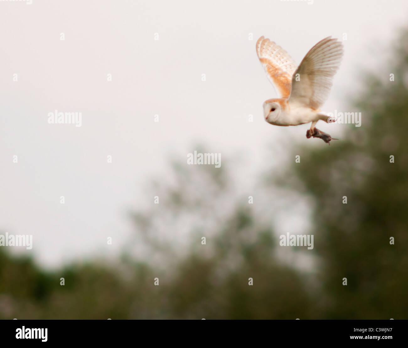 Effraie des clochers (Tyto alba), campagnols avec Warwickshire Banque D'Images