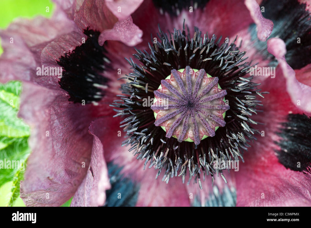 Papaver orientale 'Pattys Plum'. Close up sur milieu de fleur de pavot Banque D'Images