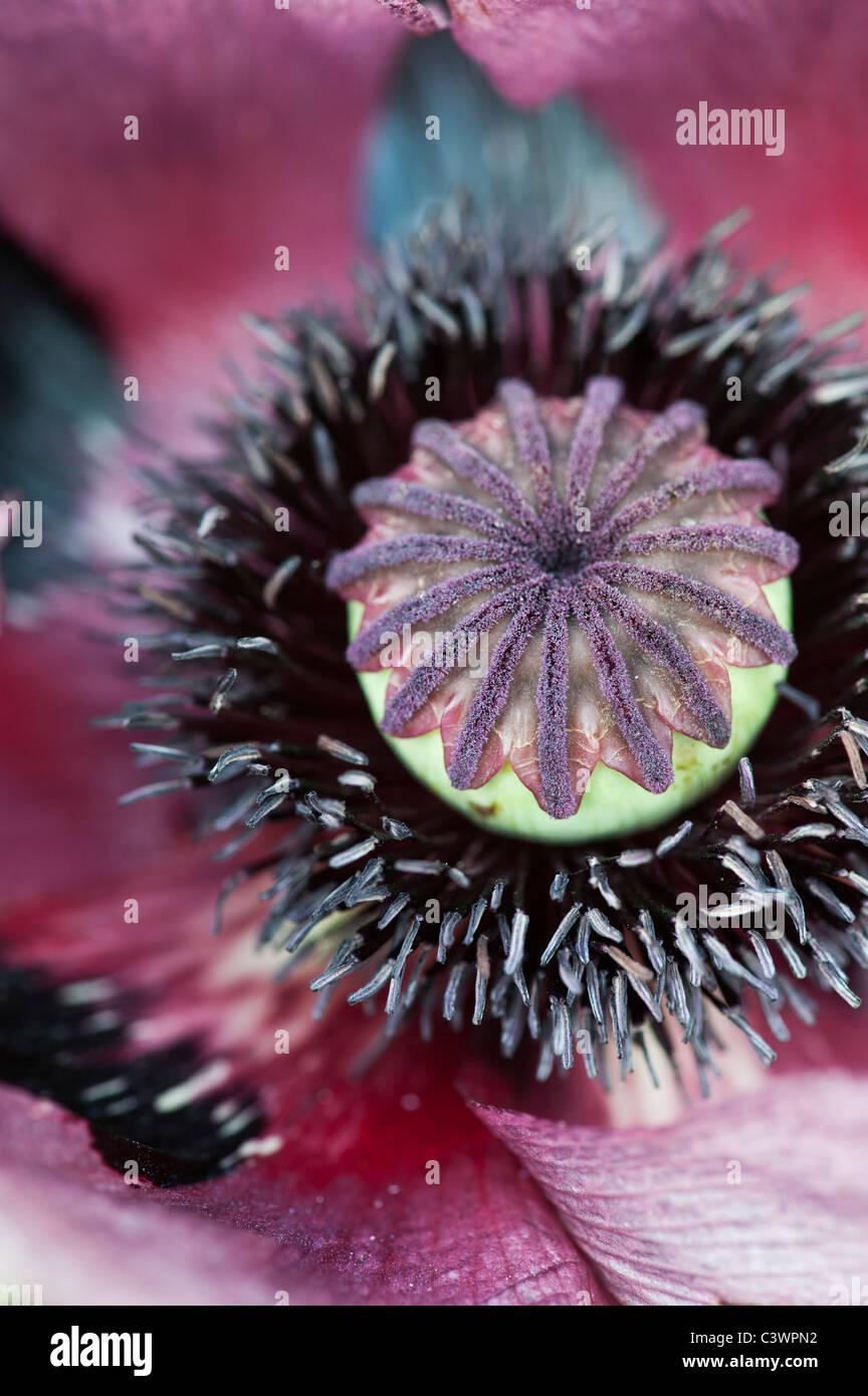 Papaver orientale 'Pattys Plum'. Close up sur milieu de fleur de pavot Photo Stock