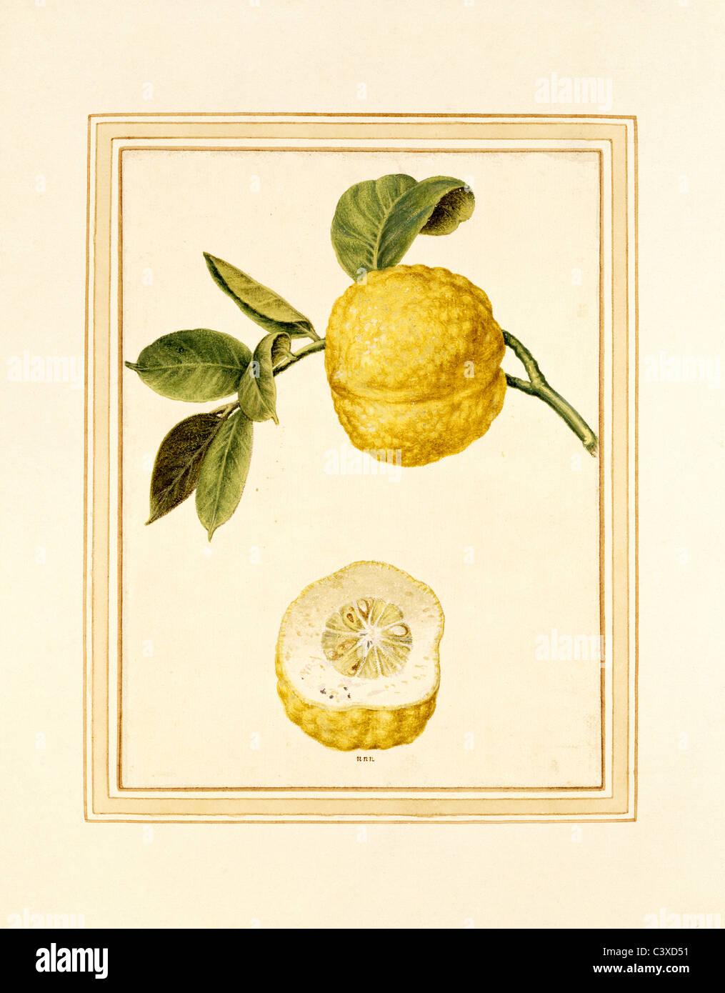 Citron sur tige. Italie, 18e siècle Banque D'Images
