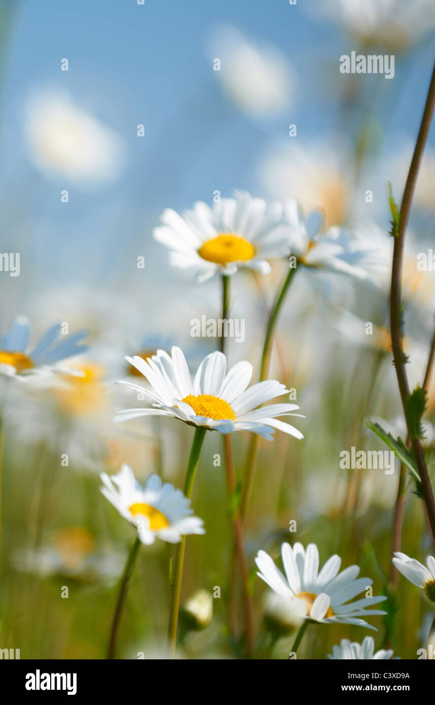 Vue rapprochée de marguerites dans le champ en pleine floraison Photo Stock