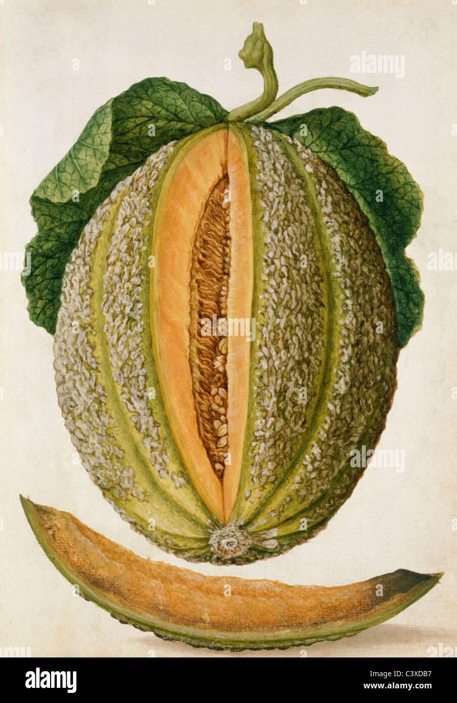 Le Melon, par Jacques Le Moyne de Morgues. France, milieu du 16e siècle Banque D'Images