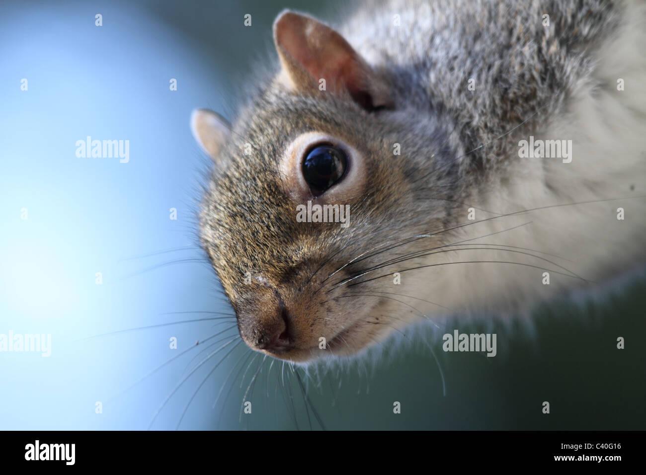 Sqirrel macro très proche et détaillée Photo Stock