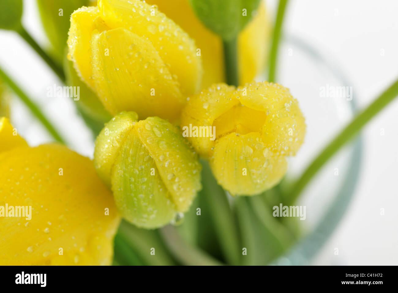 Beauté, détail, fleur, pétales, seul, stil life, tulipes, arrière-plan, beau, beauté, fleurs, Photo Stock