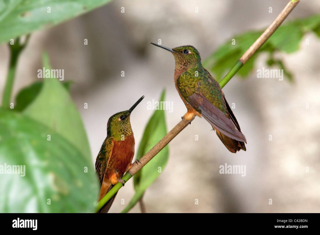 Pérou, Aguas Calientes, Machu Picchu, Inkaterra Machu Picchu Pueblo Hotel. Jardin. Hummingbird. Photo Stock