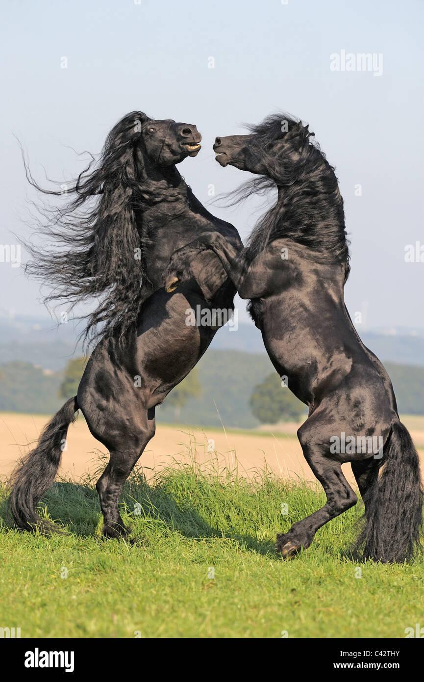 Cheval frison (Equus ferus caballus), etalons combats. L'Allemagne. Photo Stock