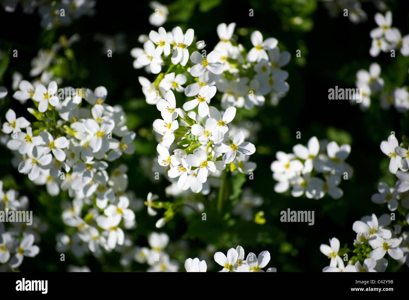 Fleur blanche, vous ne savez pas quel Photo Stock