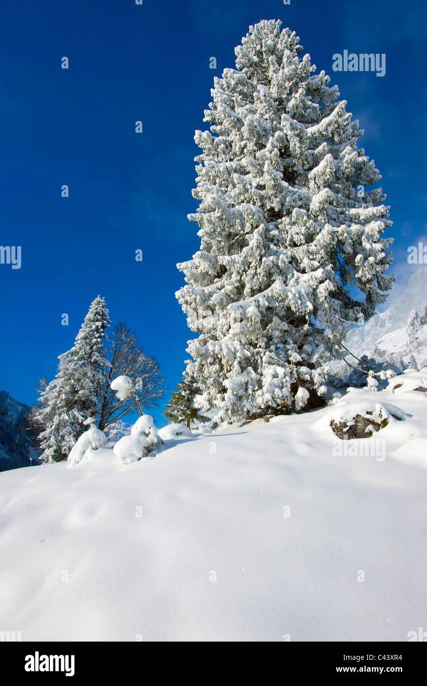 Klausenpass, Uri, Suisse, Europe, le canton de Glaris, hiver, neige, arbres, sapins Banque D'Images