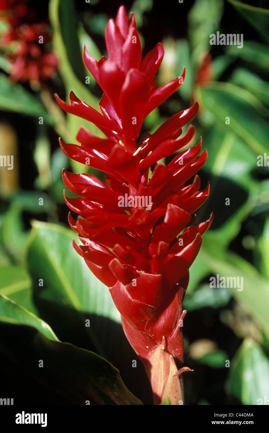 Martinique Antilles Iles Iles Britanniques Balisier Fleur