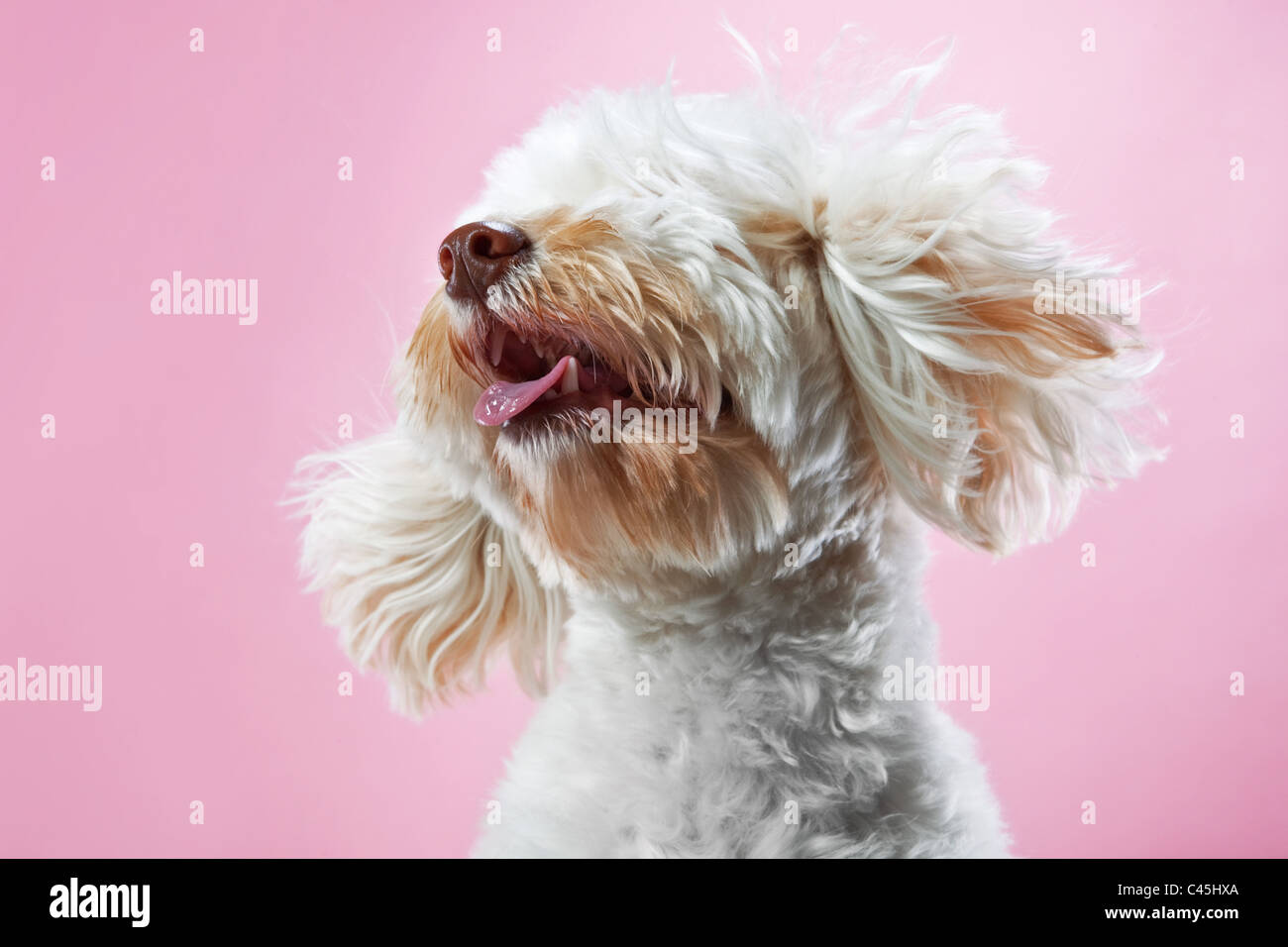 Blanches Maltese dog rose sur un fond de studio. Photo Stock