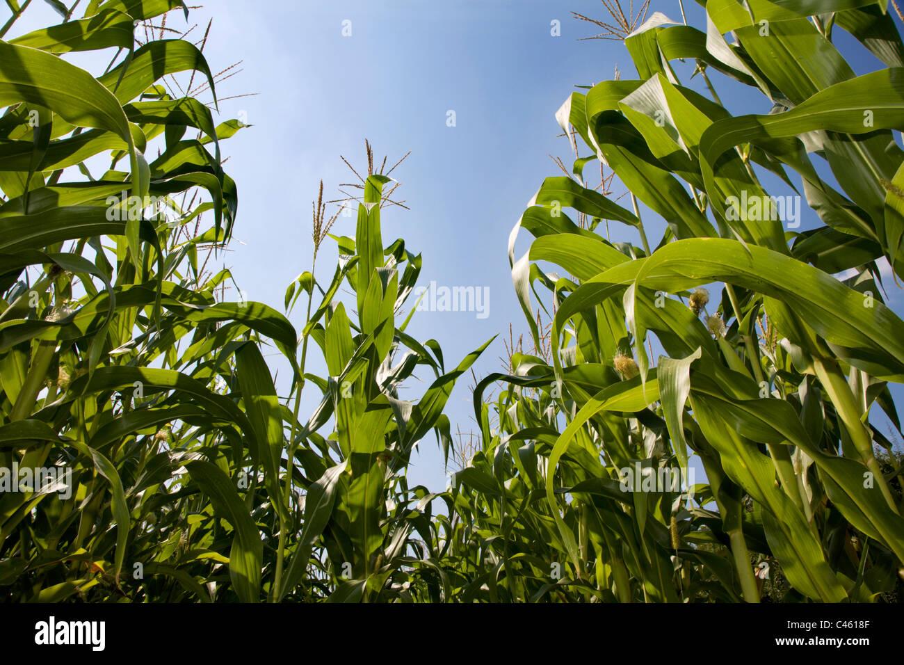 maïs et ciel Photo Stock