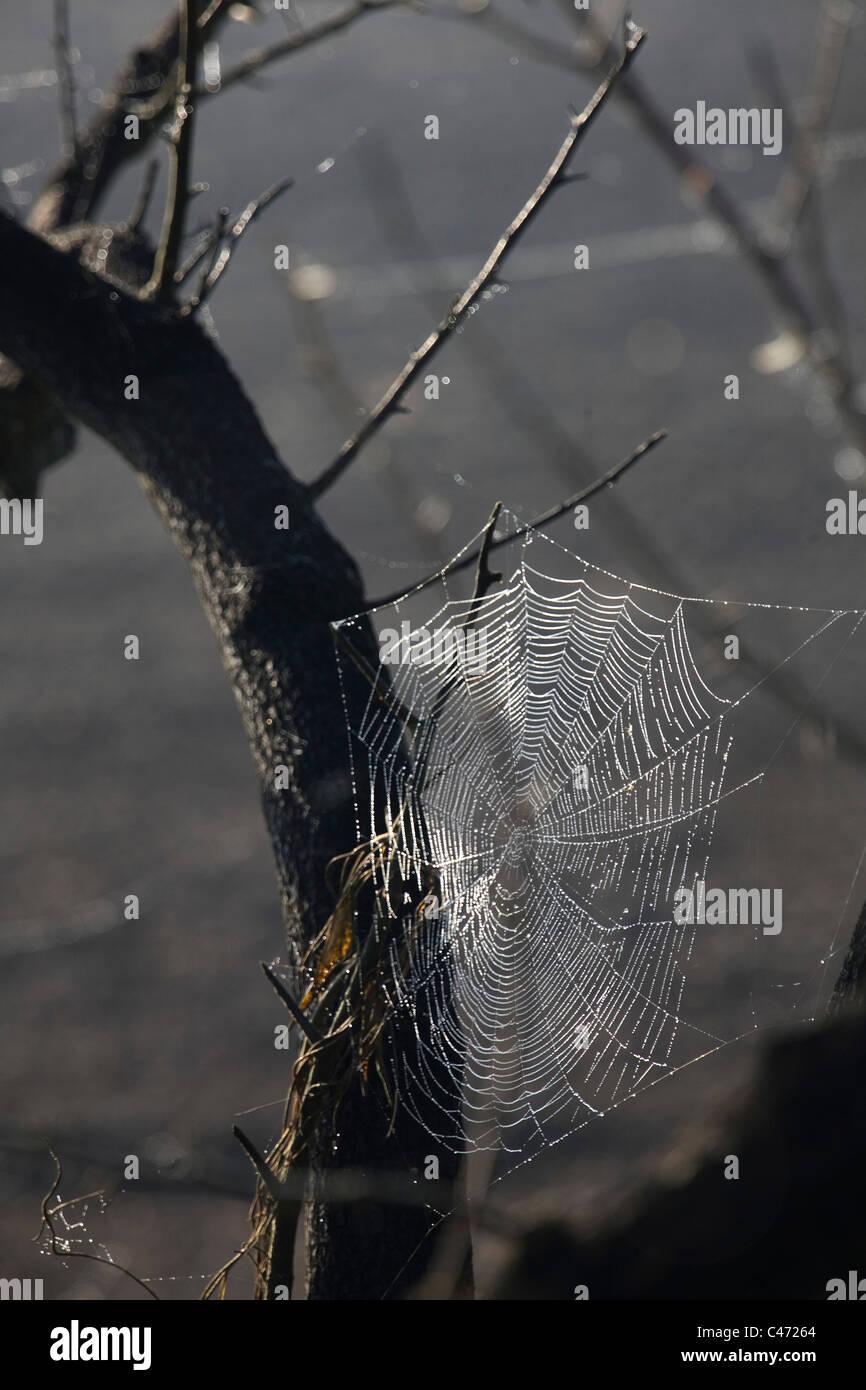 Gros plan sur le mouillé d'araignée Photo Stock