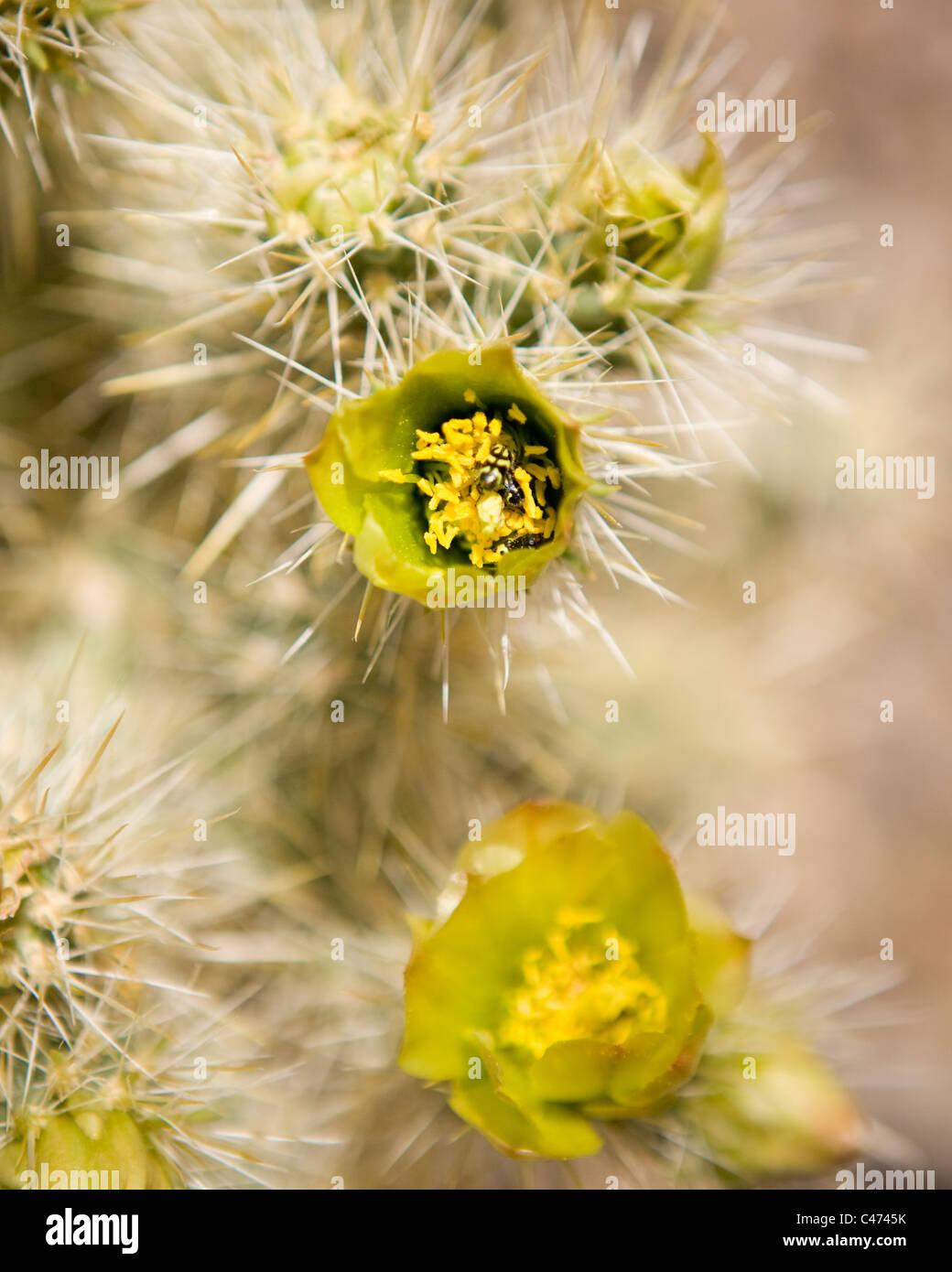 Cholla cactus en fleurs - Mojave, Californie USA Banque D'Images
