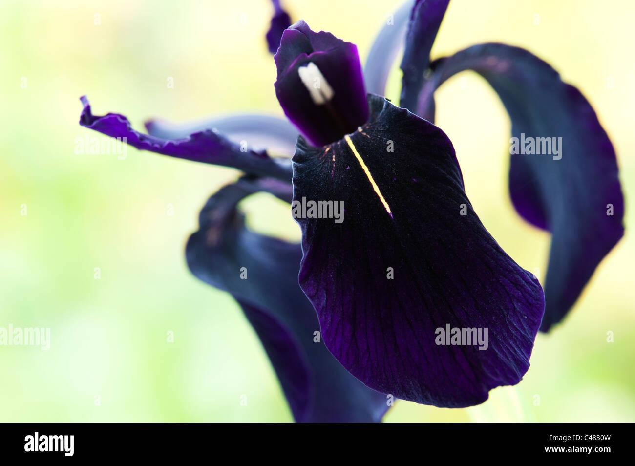 Iris chrysographes 'black'. L'iris noir (goldvein Iris) dans un jardin Photo Stock