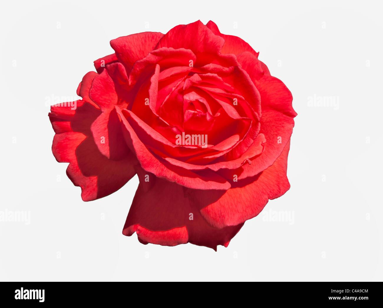 Close-up of red rose avec tête de grimpeur ouvrir pétales Photo Stock
