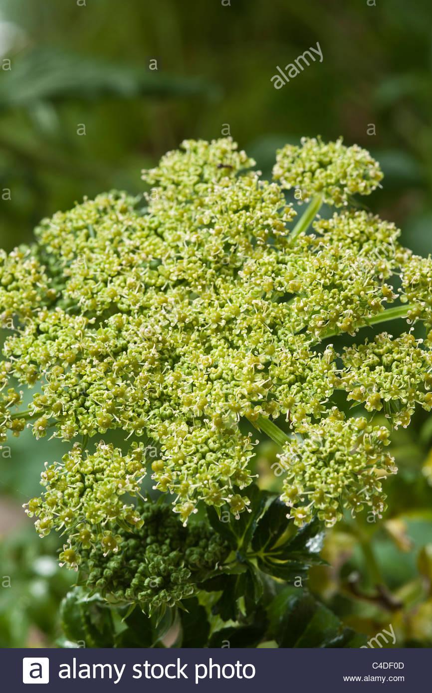 Angelica pachycarpa fleur d\'été à feuilles luisantes vert inhabituel ...