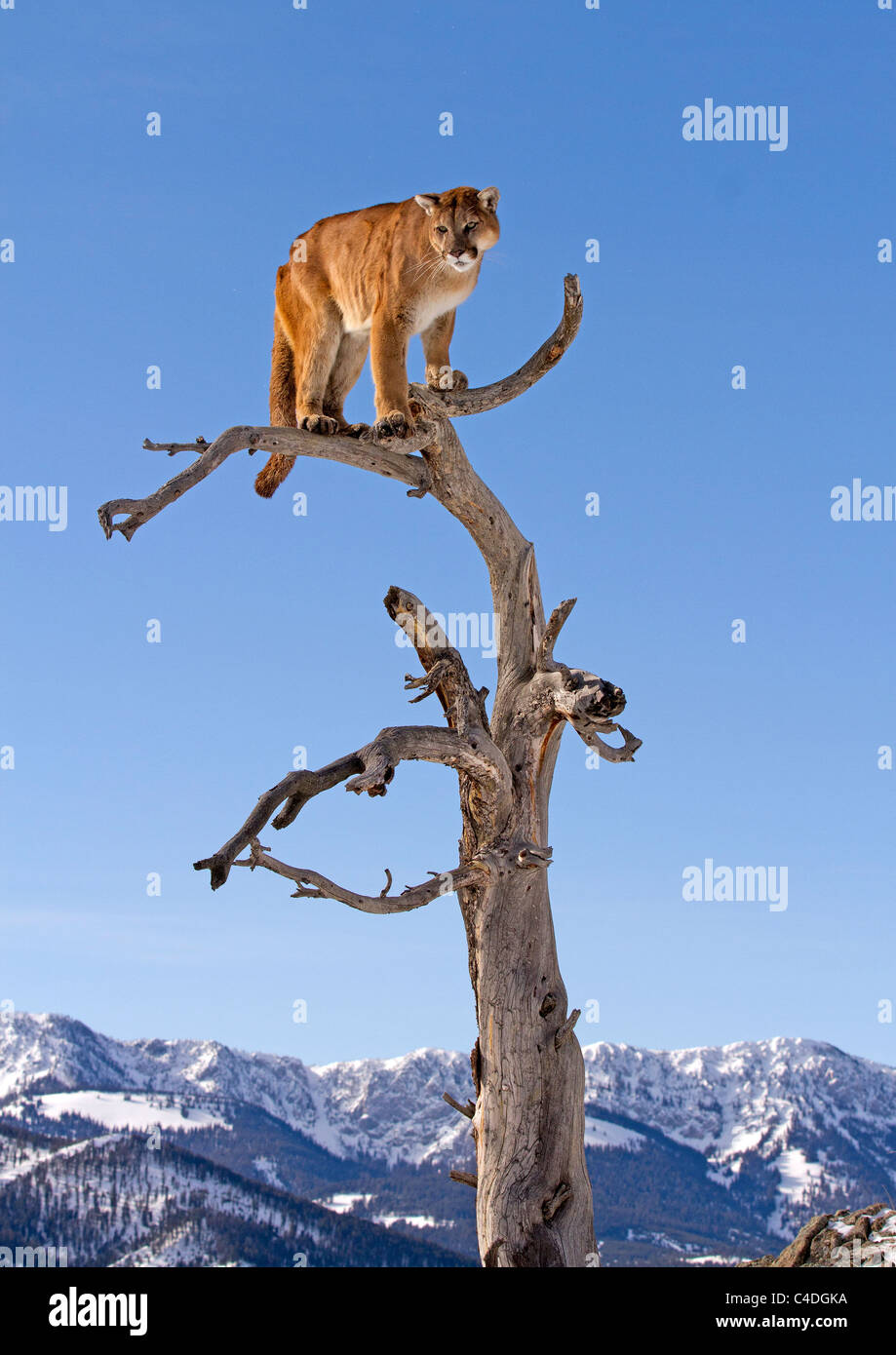 Mountain Lion, Felis concolor dans un arbre Photo Stock