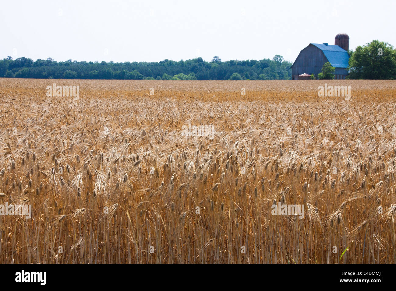 Domaines de la maturation de l'orge, grange à distance, Maryland Eastern Shore, USA Photo Stock