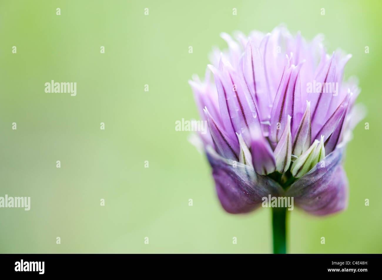 Allium schoenoprasum. Fleurs de ciboulette Banque D'Images