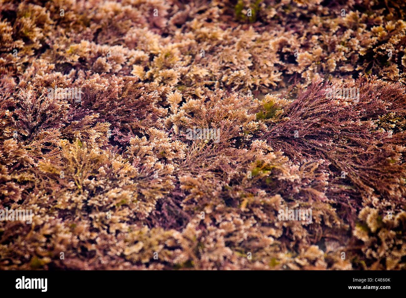 L'algue rouge dans une piscine dans les rochers, Runswick Bay, East Coast Yorkshire, Angleterre Photo Stock