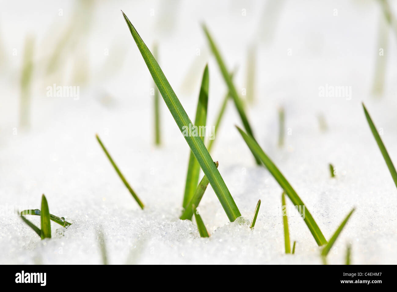 Brins d'herbe dans la neige, Close up. Winnipeg, Manitoba, Canada. Photo Stock