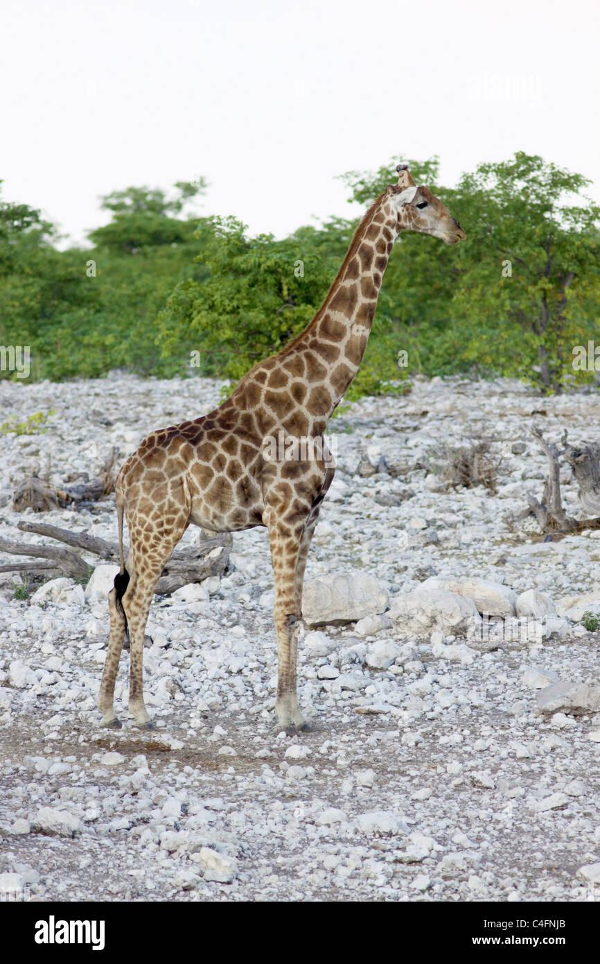 Communauté Girafe (Giraffa camelopardalis angolensis) dans le parc d'Etosha, Namibie NP. Banque D'Images