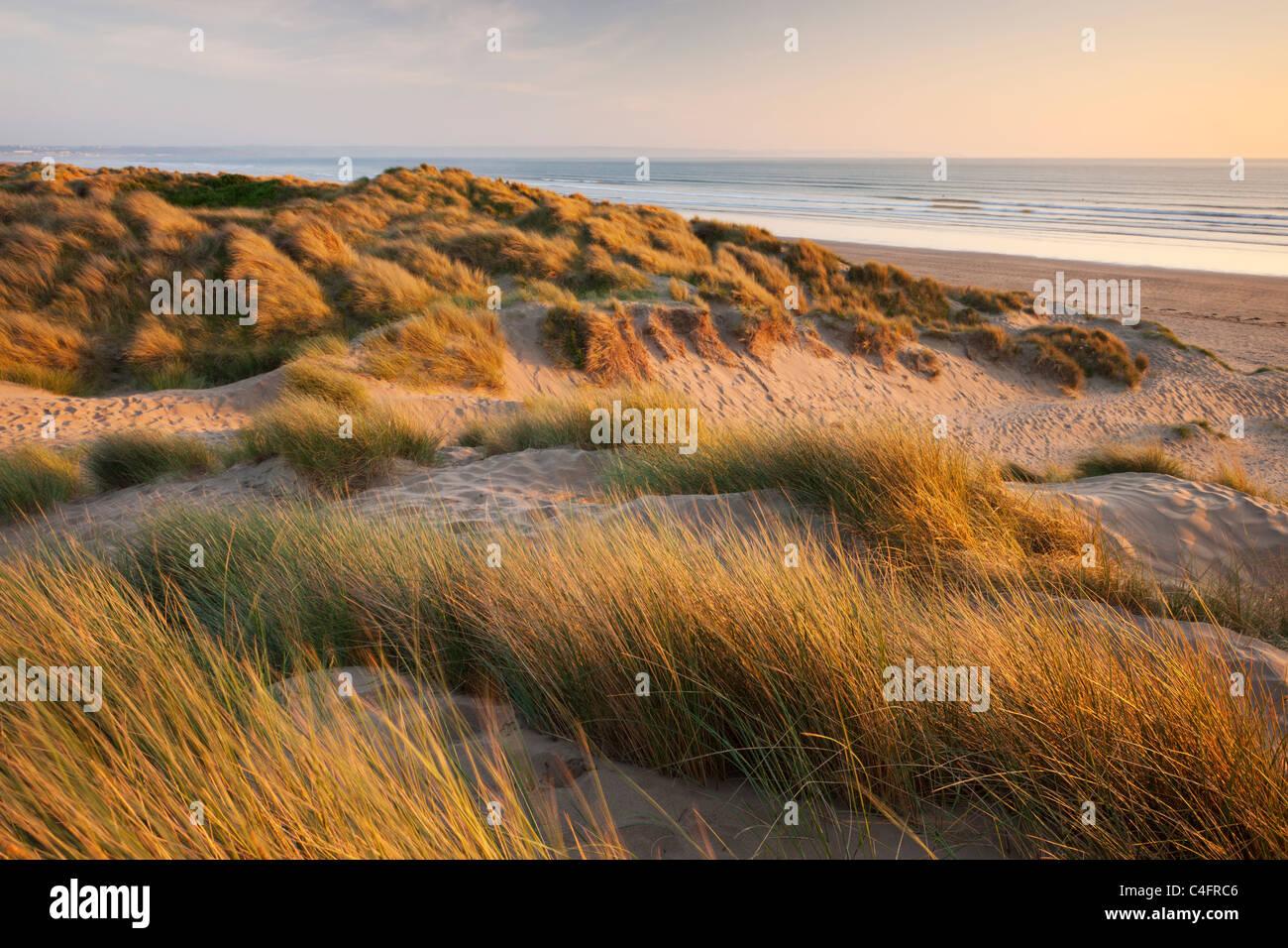 L'ammophile sur les dunes de sable de Braunton Burrows, regard vers Saunton Sands, Devon, Angleterre. En été Photo Stock