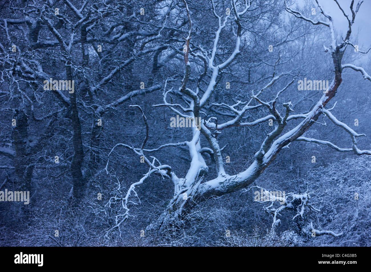 La neige sur les arbres à Cadbury Castle, Somerset, Angleterre Photo Stock