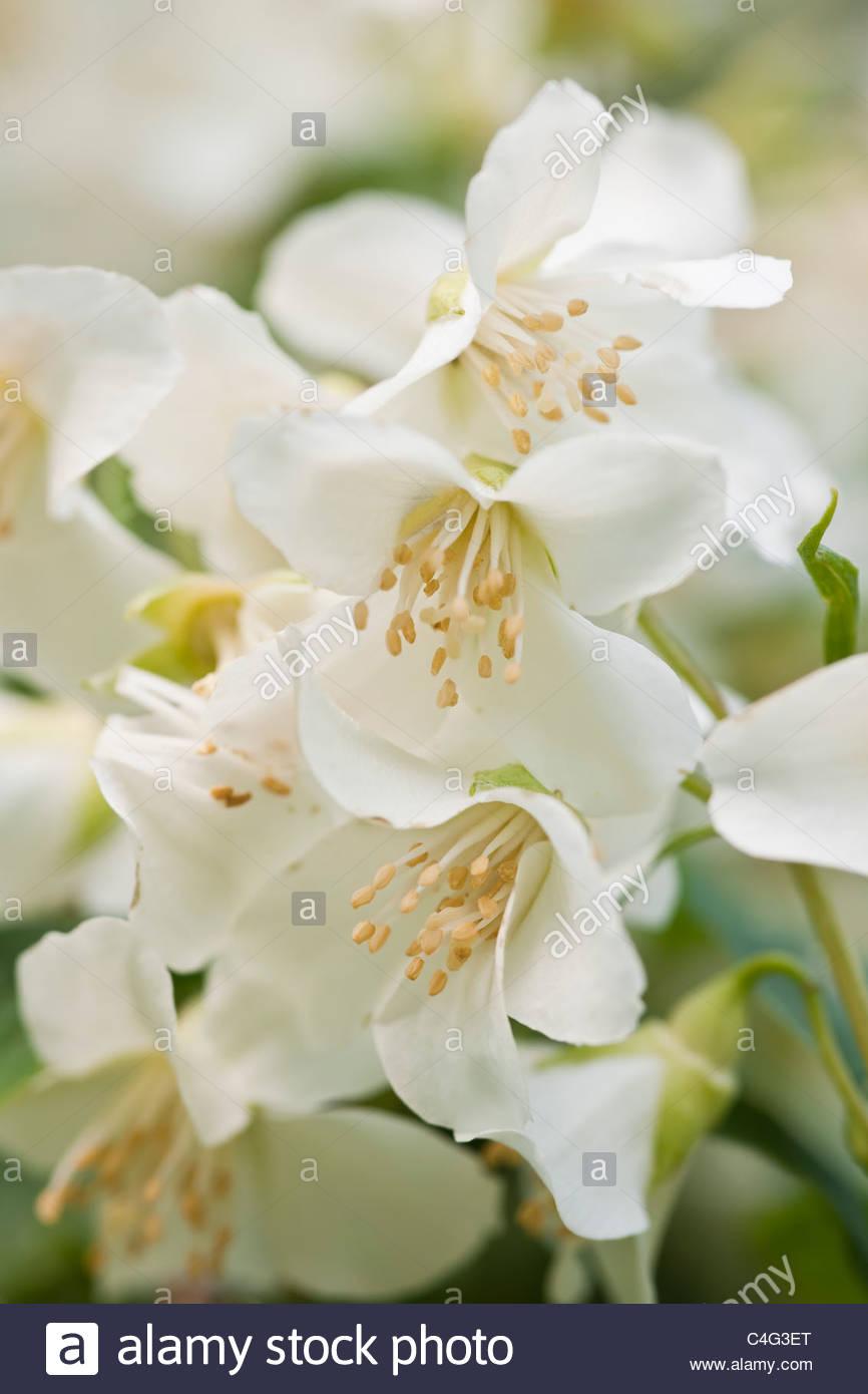 Seringat Philadelphus Lemoinei arbuste à feuilles caduques de fleurs ...